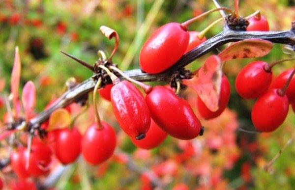 Фото плодов Барбариса