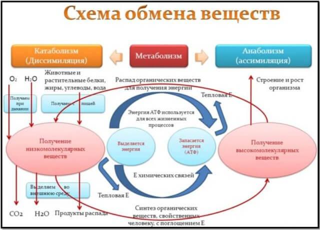 Схема метаболизма